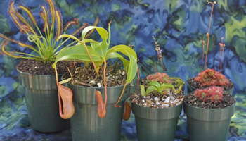 Tropical Carnivorous Plants