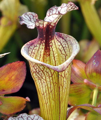 Beautiful Carnivorous Plants For Sale